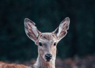 red and gray deer