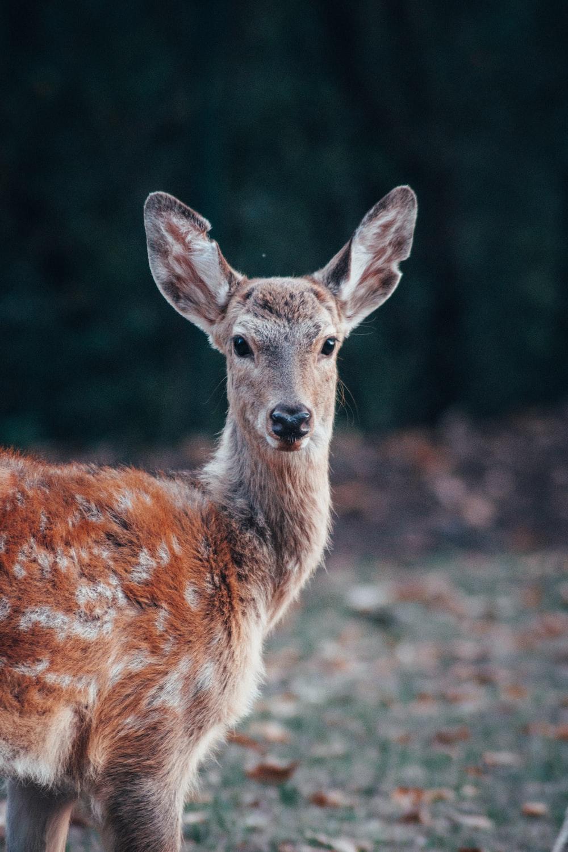 赤と灰色の鹿