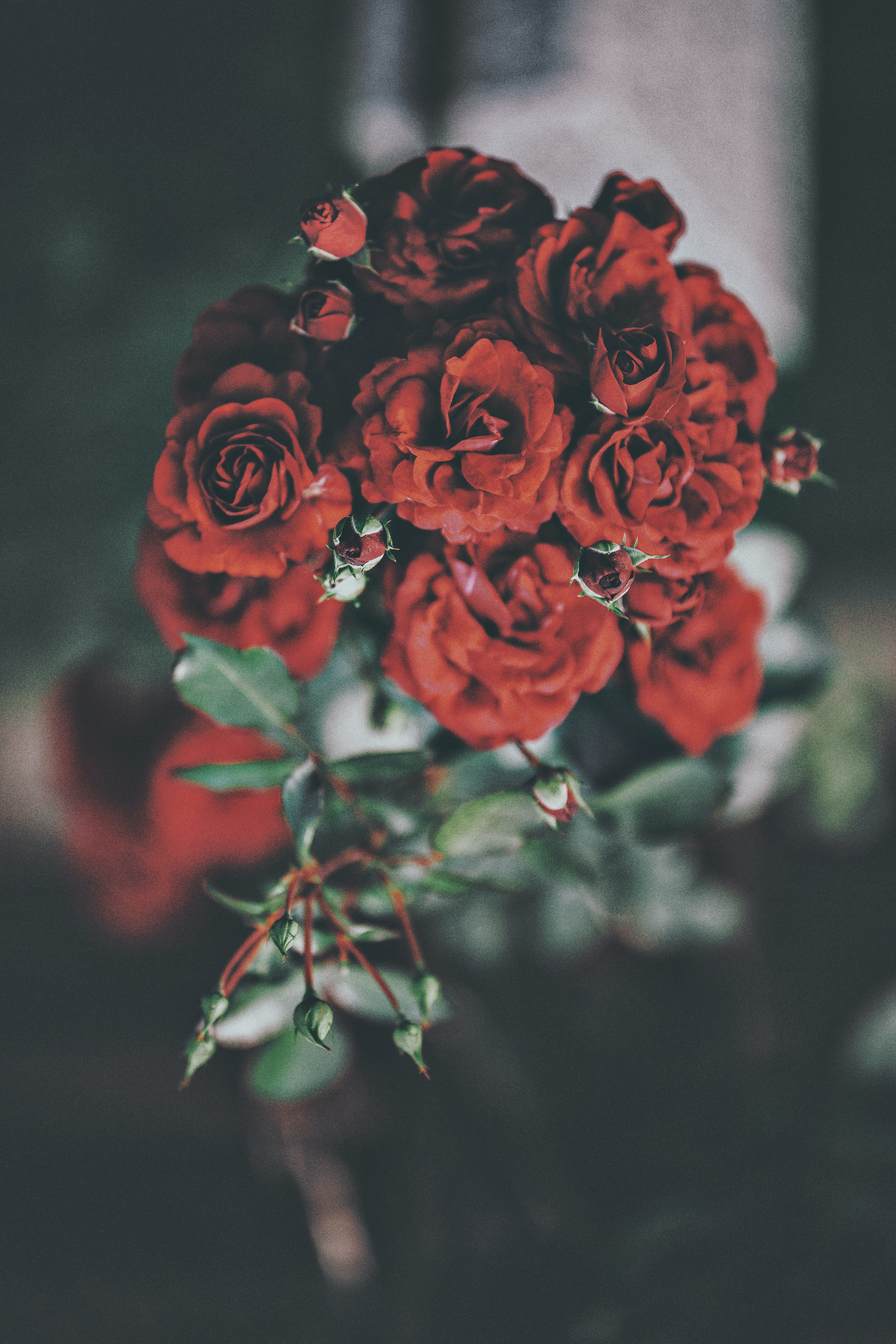 red roses in selective focus photography