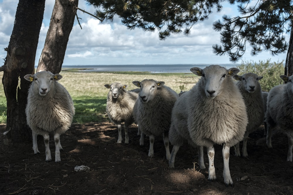 white sheeps standing under brown tree