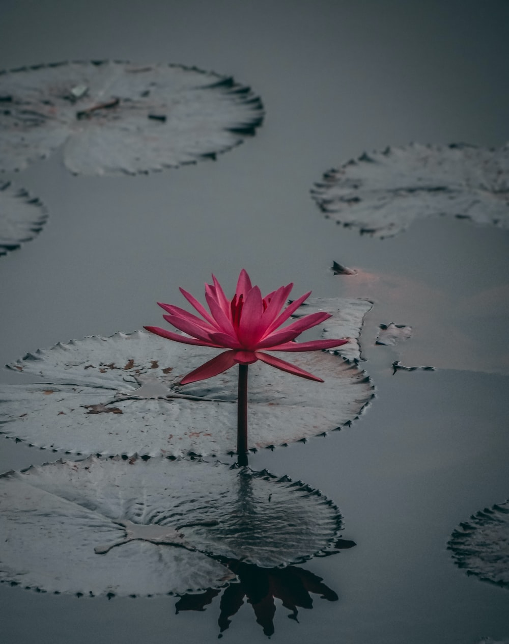 selective focus photography of pink water lily flower on body of water
