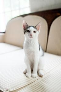 short-coated white and black cat