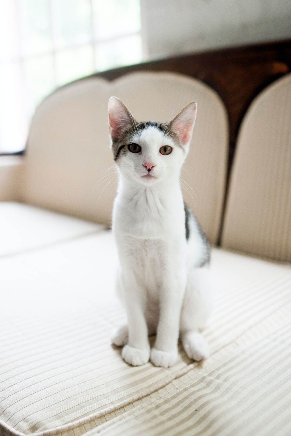 short-coated white and black cat