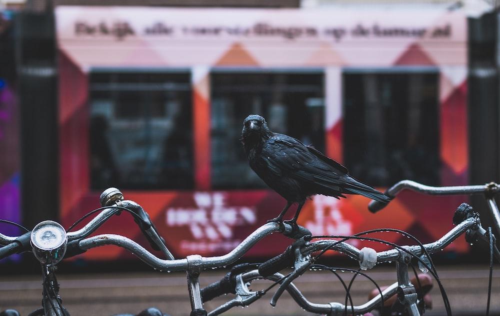 black crow on bicycle