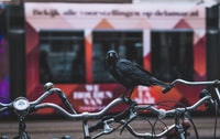 black crow on bicycle