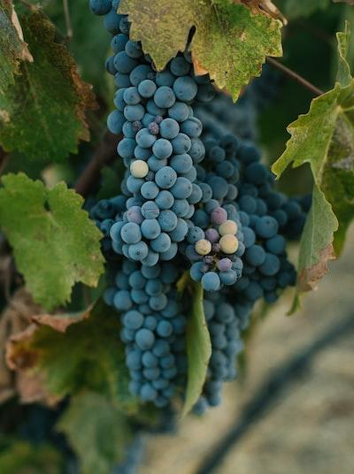 4689. Bor,szőlő, borászatok