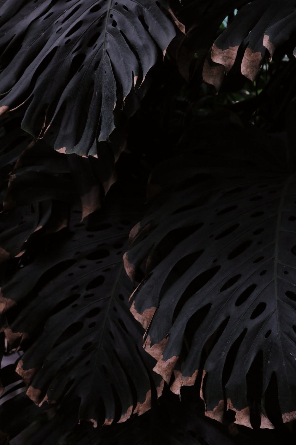 close-up photography of green Monstera deliciosa leaves
