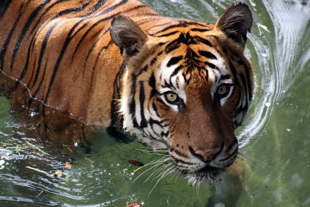 adult tiger on water