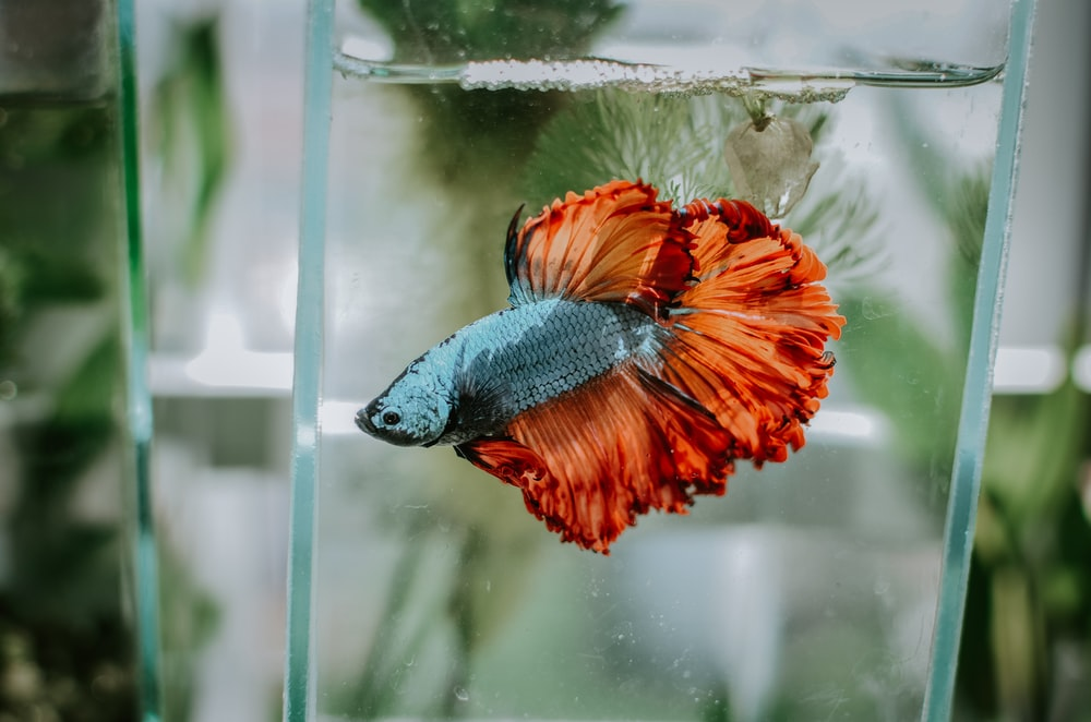 bokeh shot of blue and orange fish