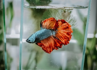 bokeh shot of blue and orange fish