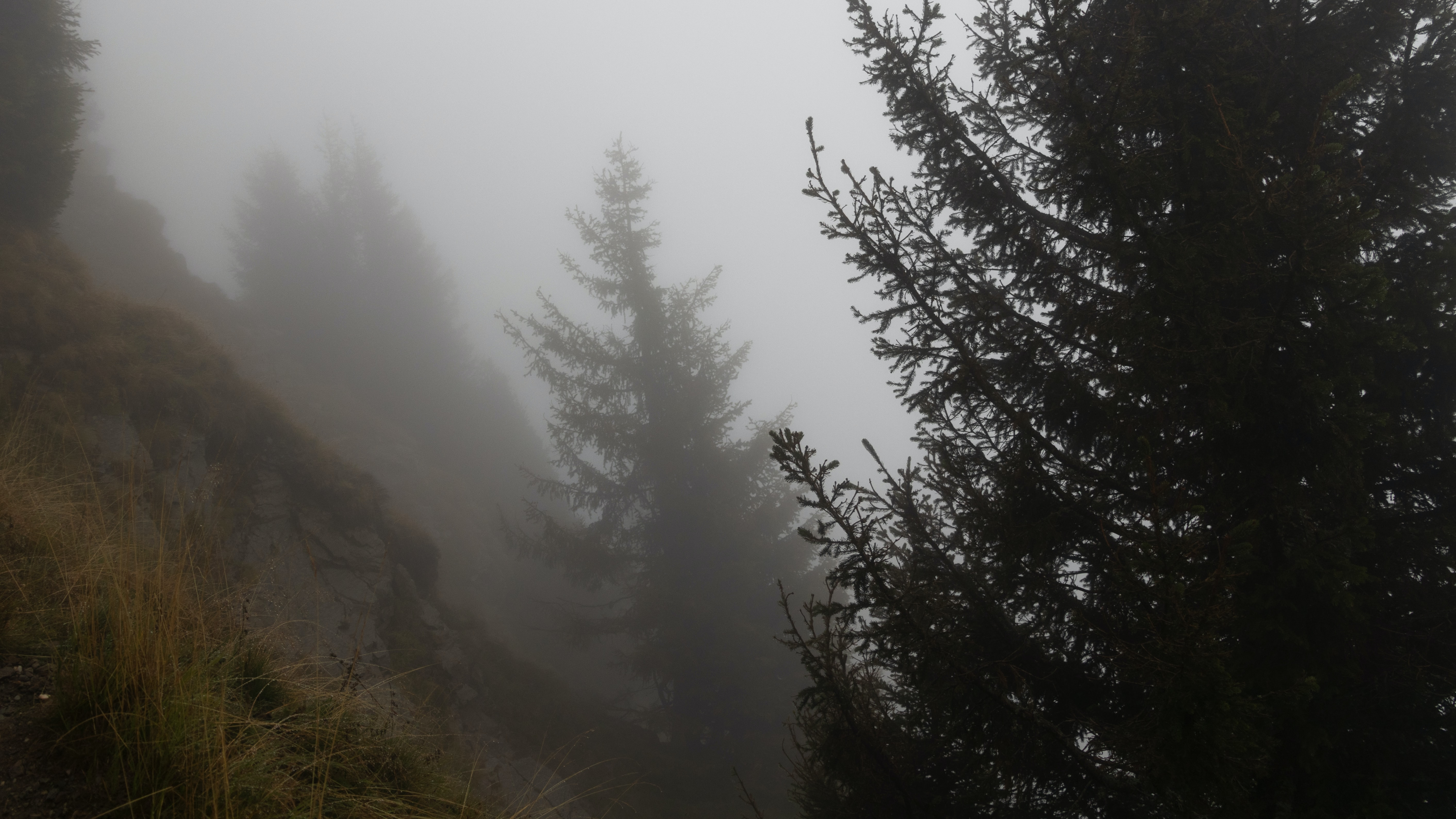 pine trees surrounded with fogs