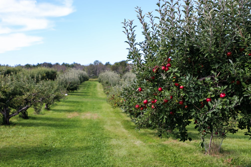 apple trees during daytime