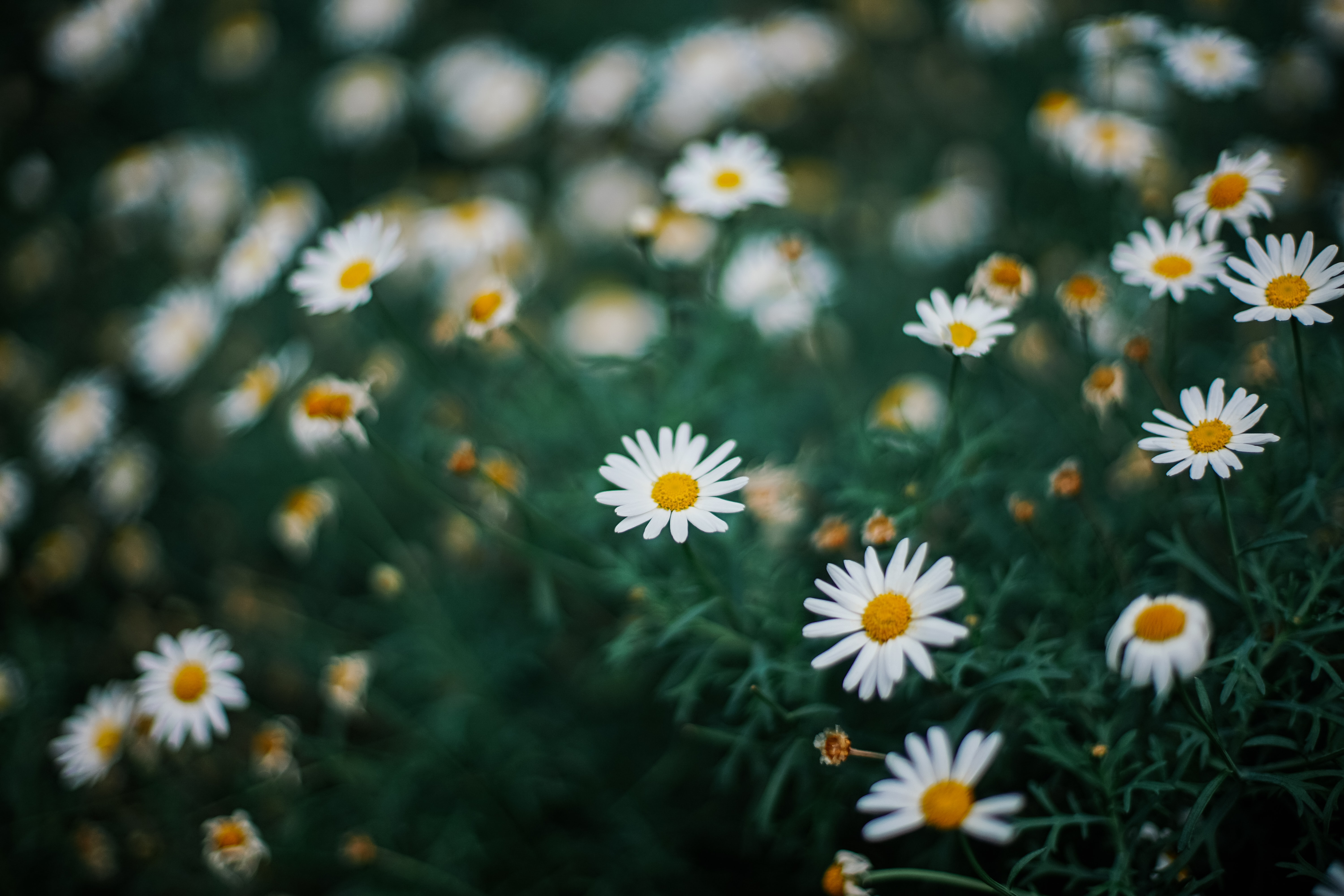 selective focus photography of common daisy flowers