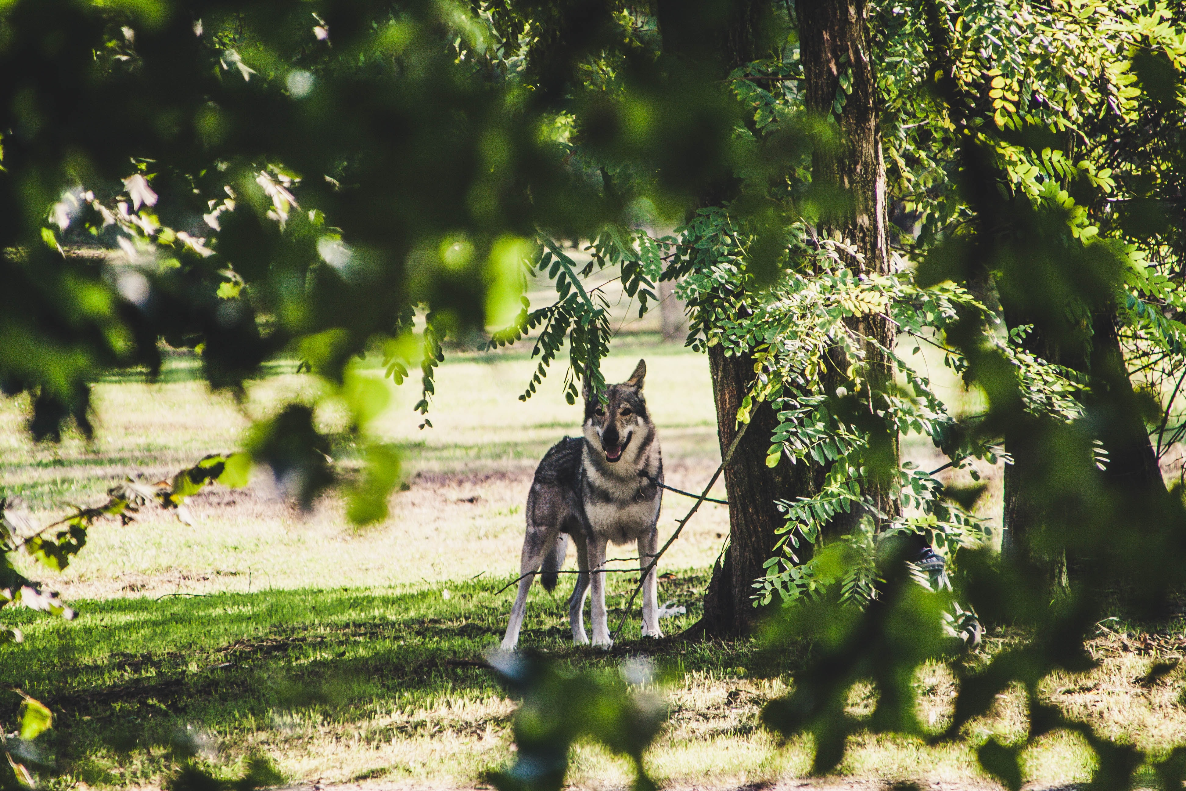 selective focus photography of adult sable German shepherd under green leafed tree