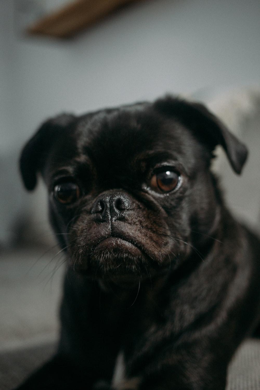 focus photo of black pug puppy