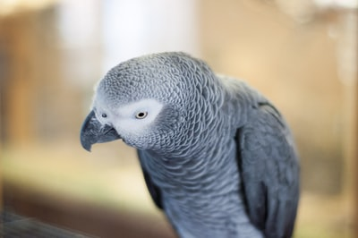grey parrot central african republic zoom background