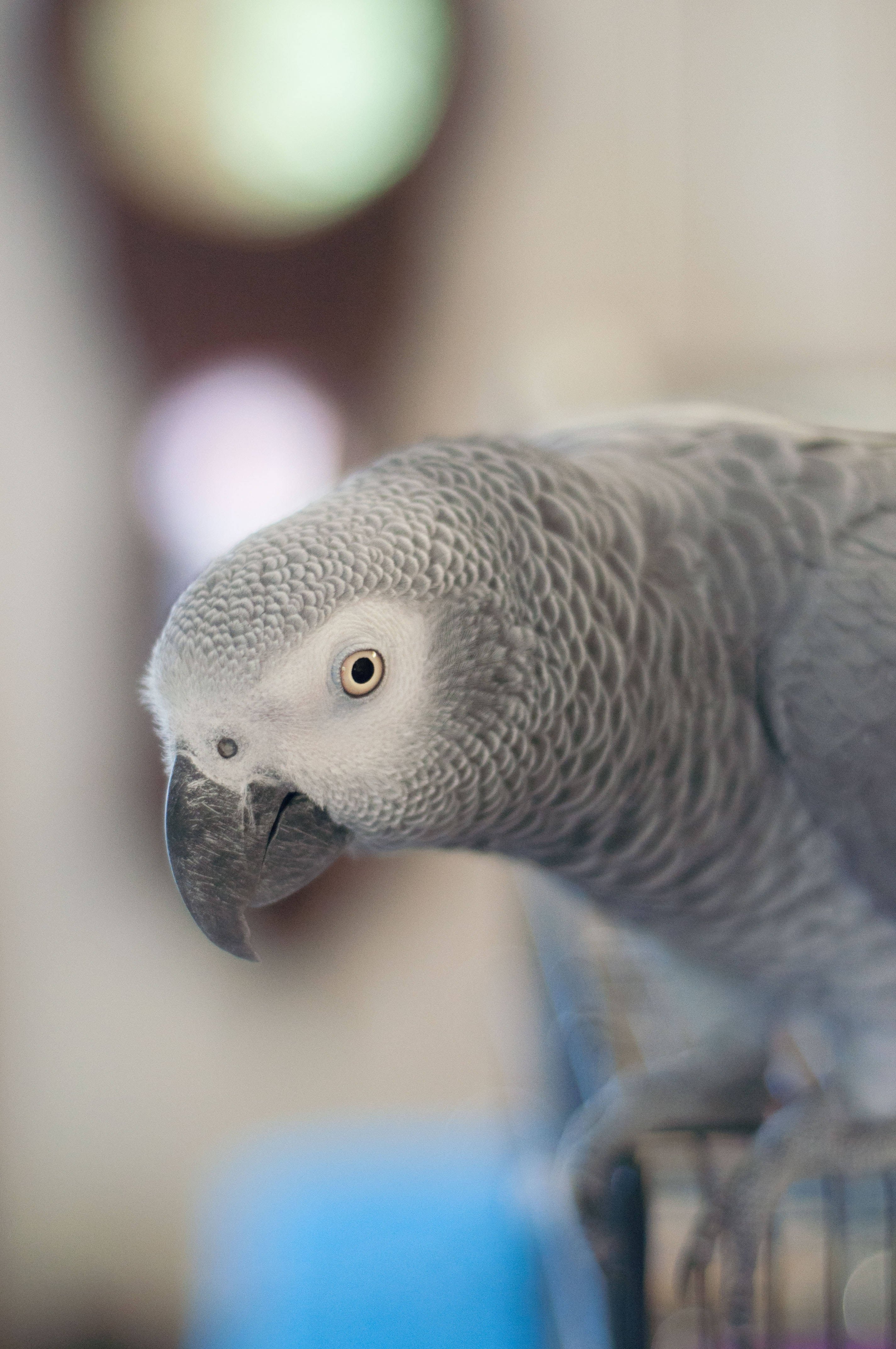 African Gray parrot selective focus photography