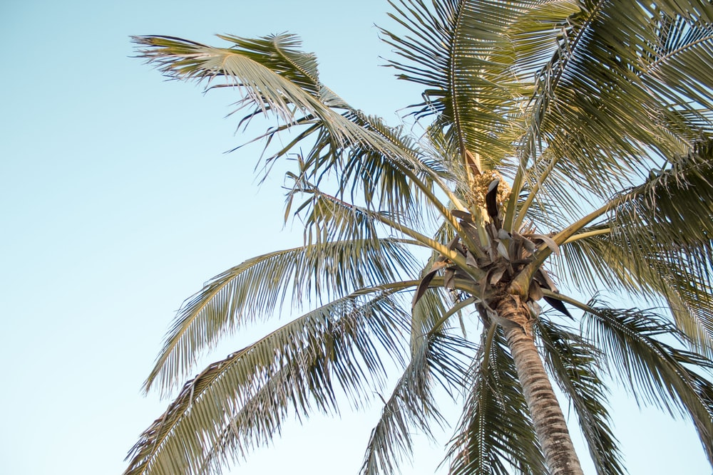 coconut tree low angle photography