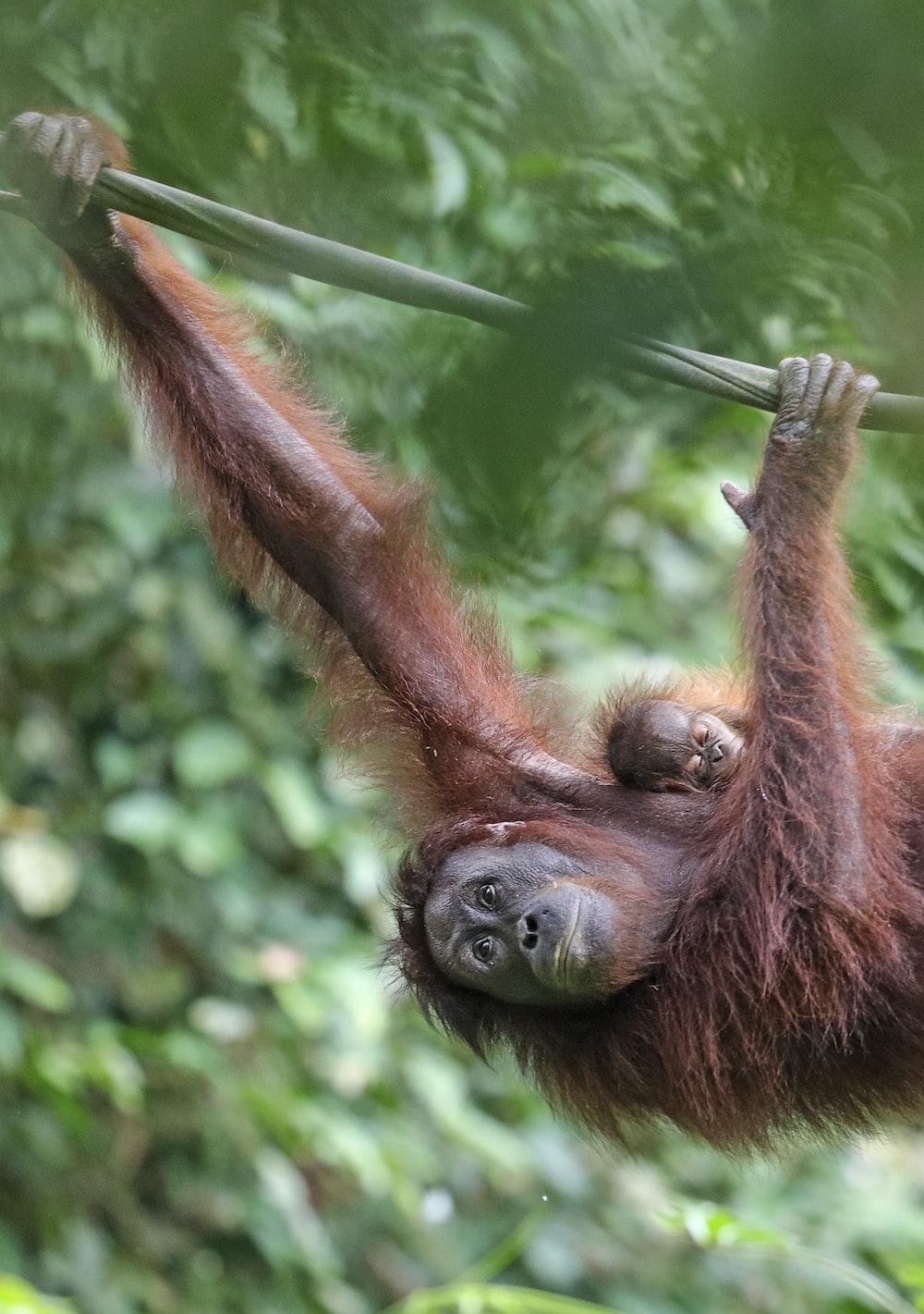 brown orangutan climbing during daytime