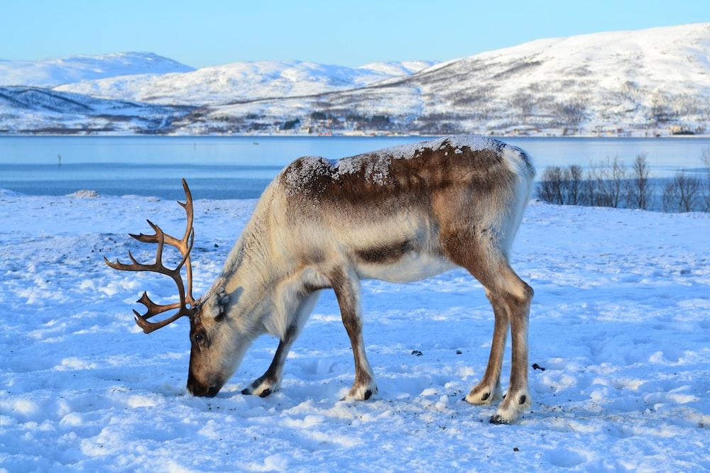 reindeer in middle of snow field