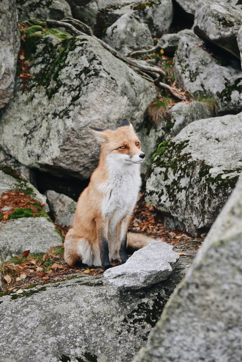 white and brown fox sitting on rocky mountain