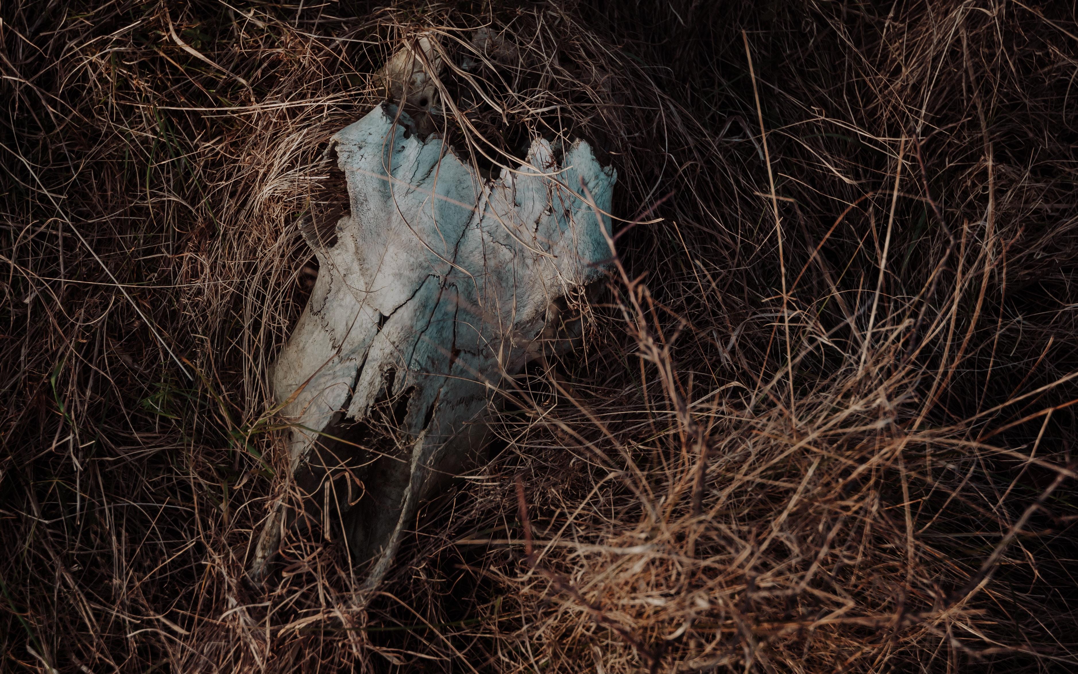 animal skull on hay
