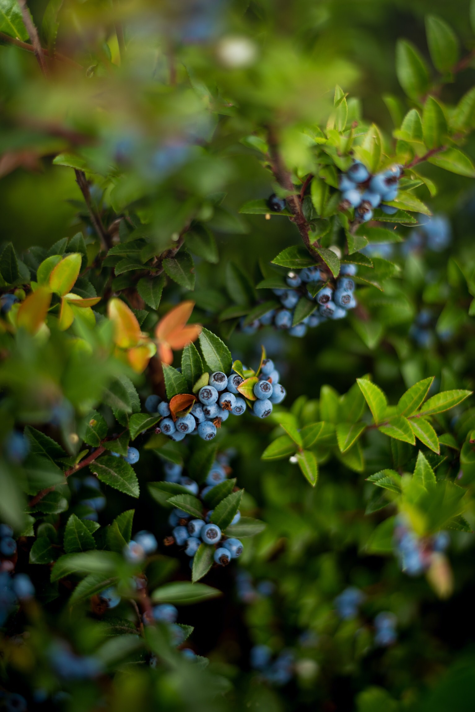 berries on plant