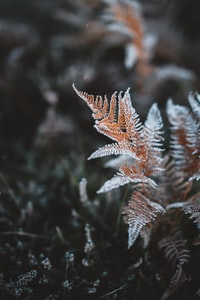 Winter is coming - frosty ferns