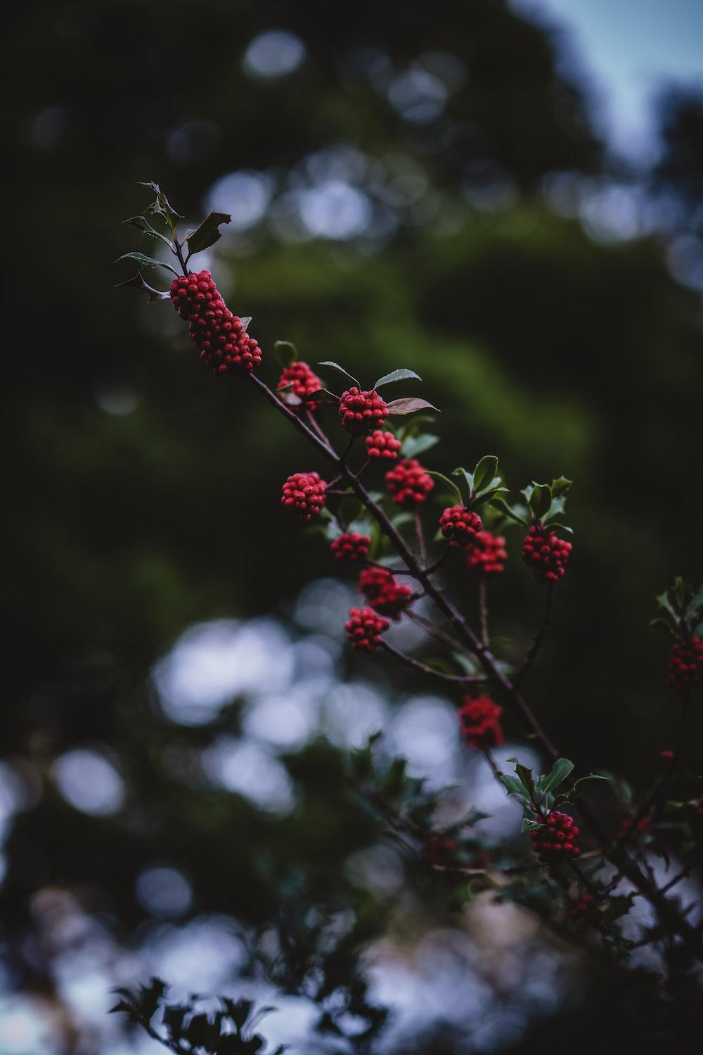 raspberries in tilt shift lens photograpy