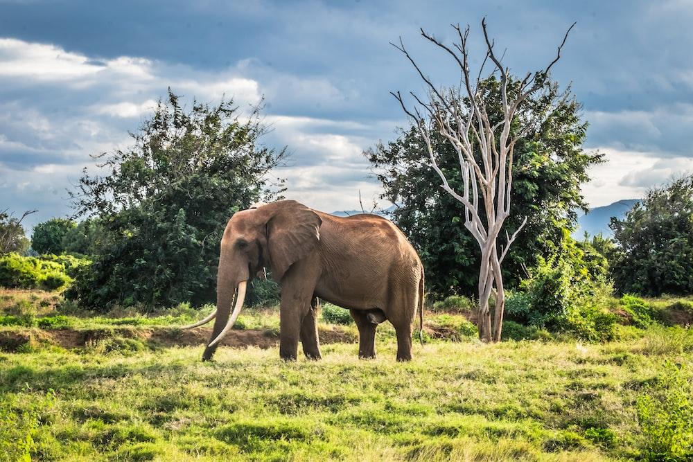 gray elephant on green field