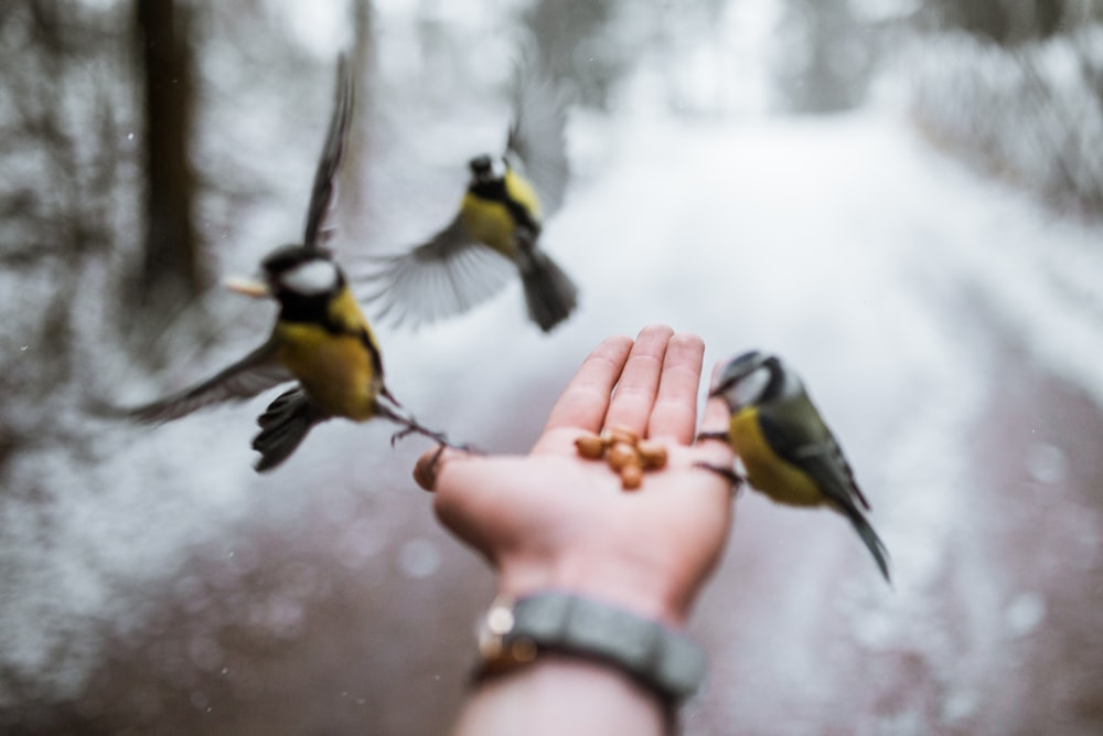 close-up photography of three yellow-and-gray birds
