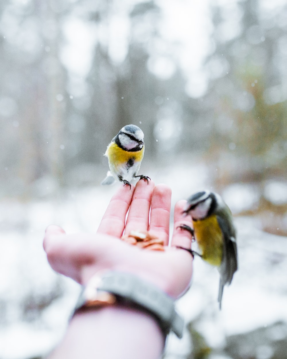 two yellow-and-black birds on person's palm