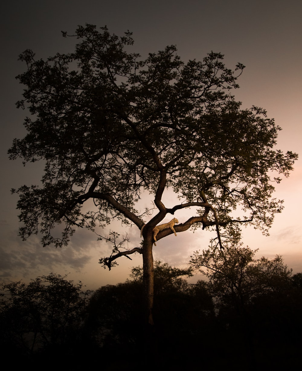 landscape of a leopard resting on a tree