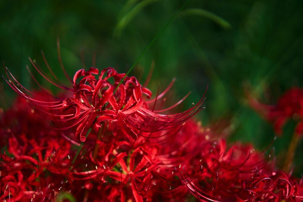 red-petaled flower
