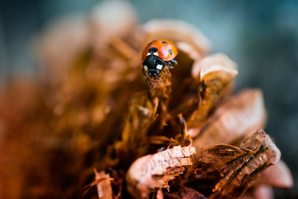 ladybug on brown leaf