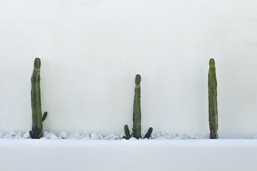 three green cactus