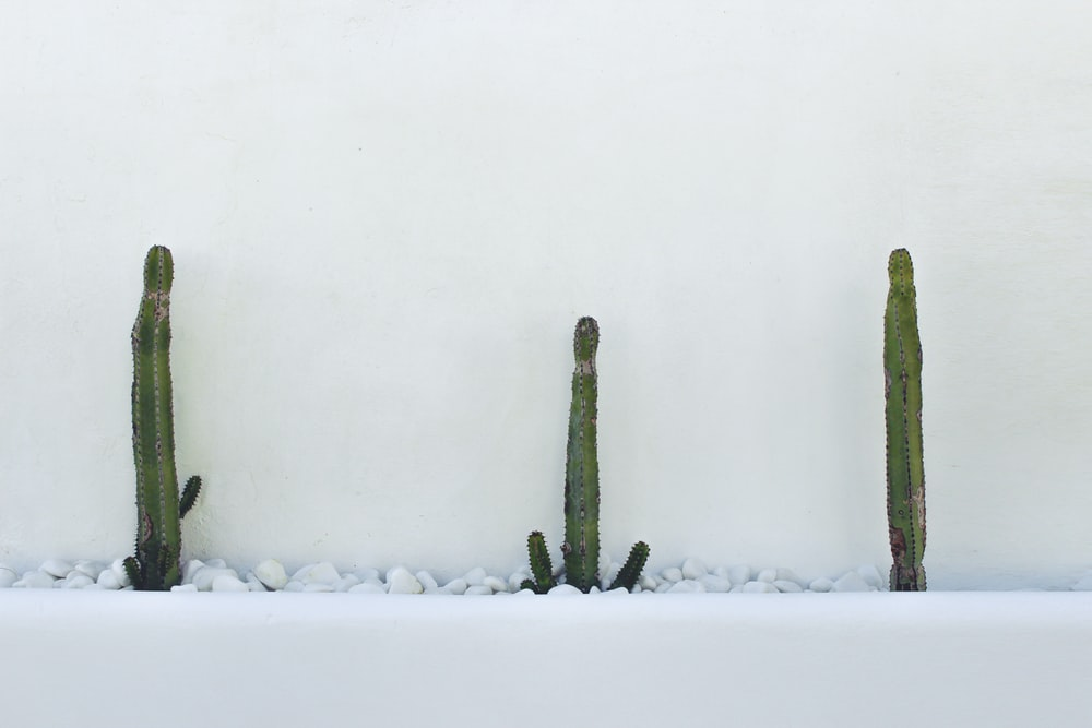 three green cactus