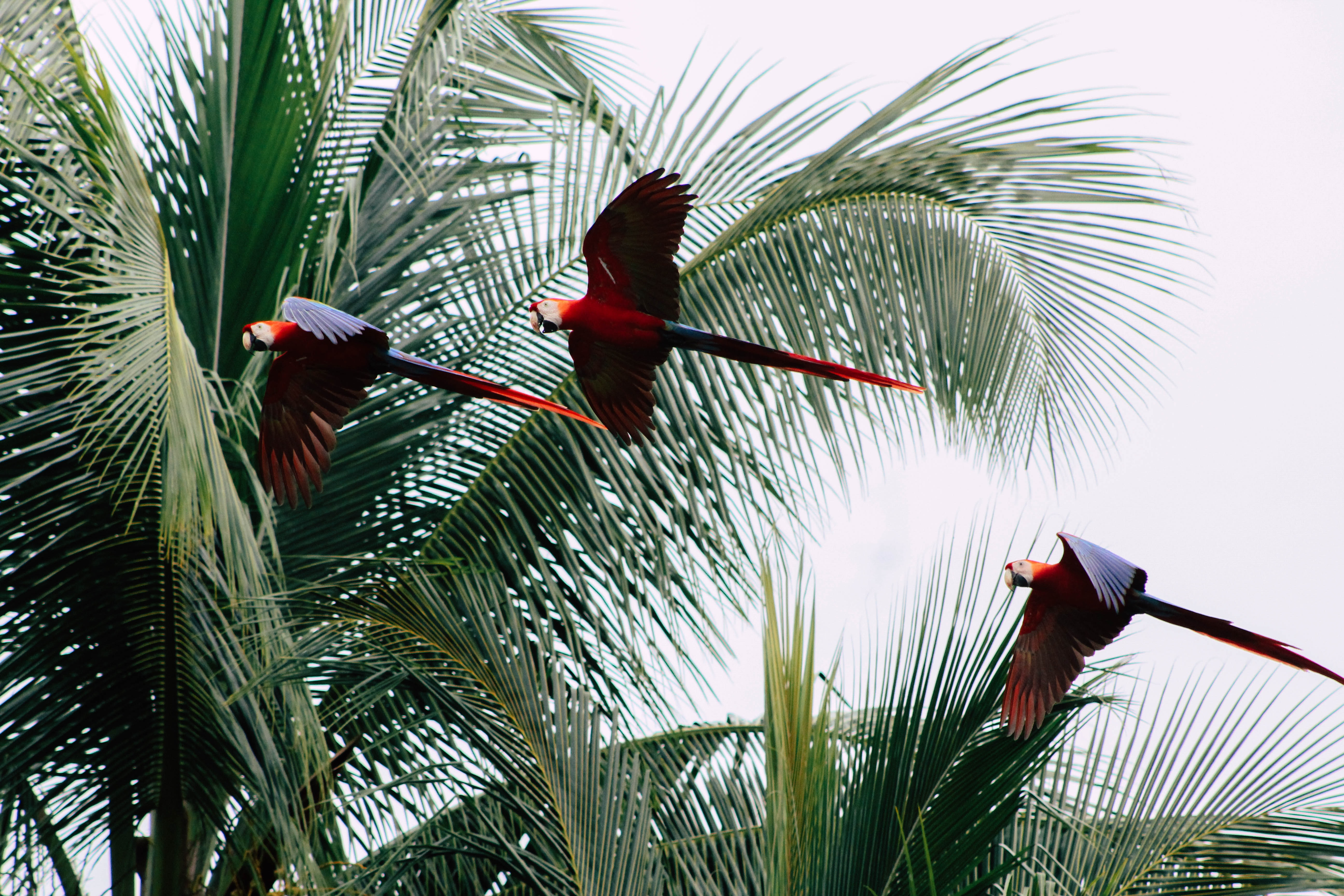 three blue-and-red macaws flying near coconut trees