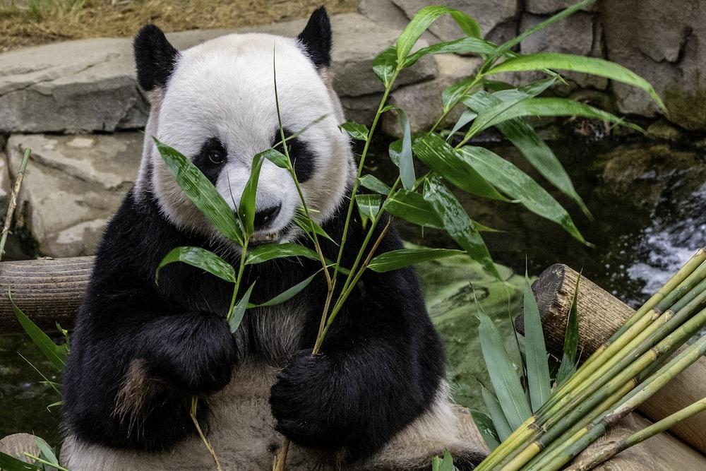 panda eating leafed