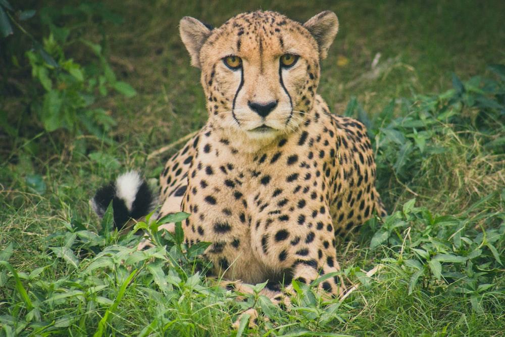 Cheetah lying on green grass ground during daytime