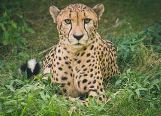 Cheetah lying on green grass ground during daytime