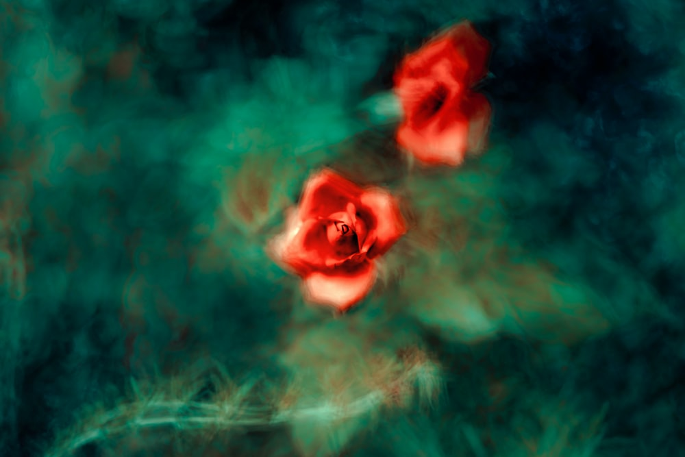 red rose against green background wallpaper