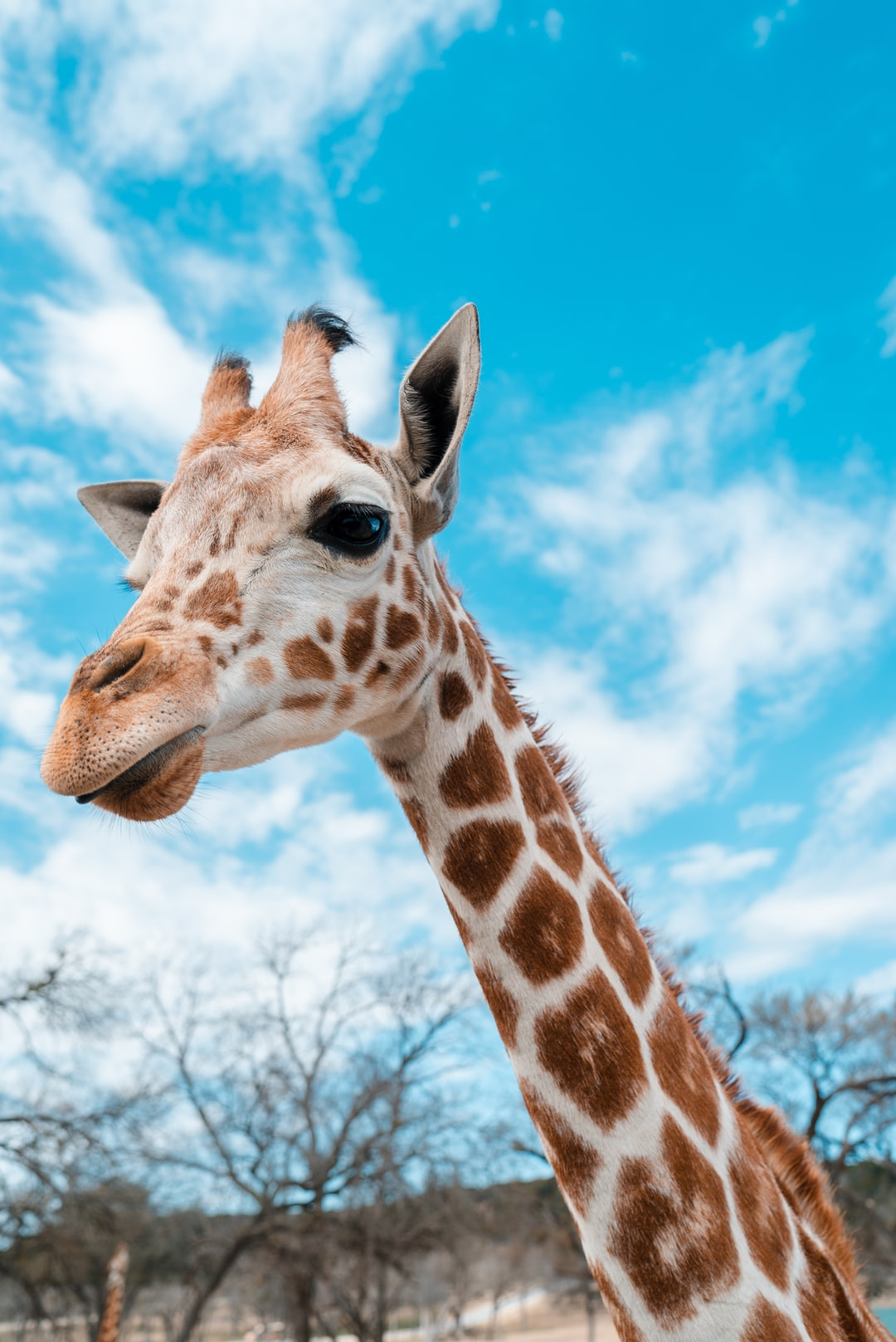 500 giraffe pictures hd free images on unsplash