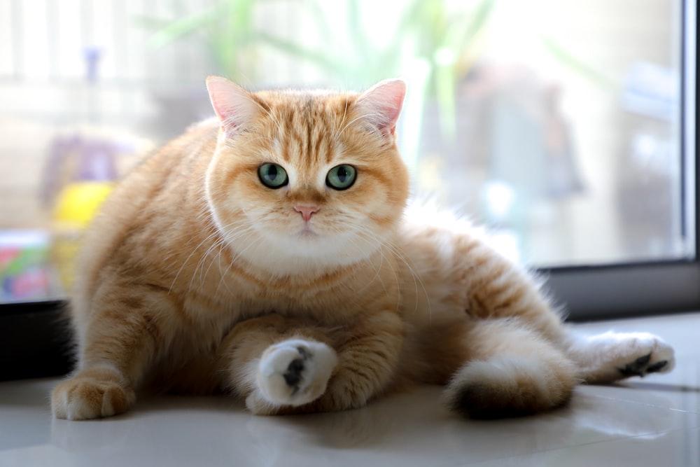 orange tabby cat lying near window