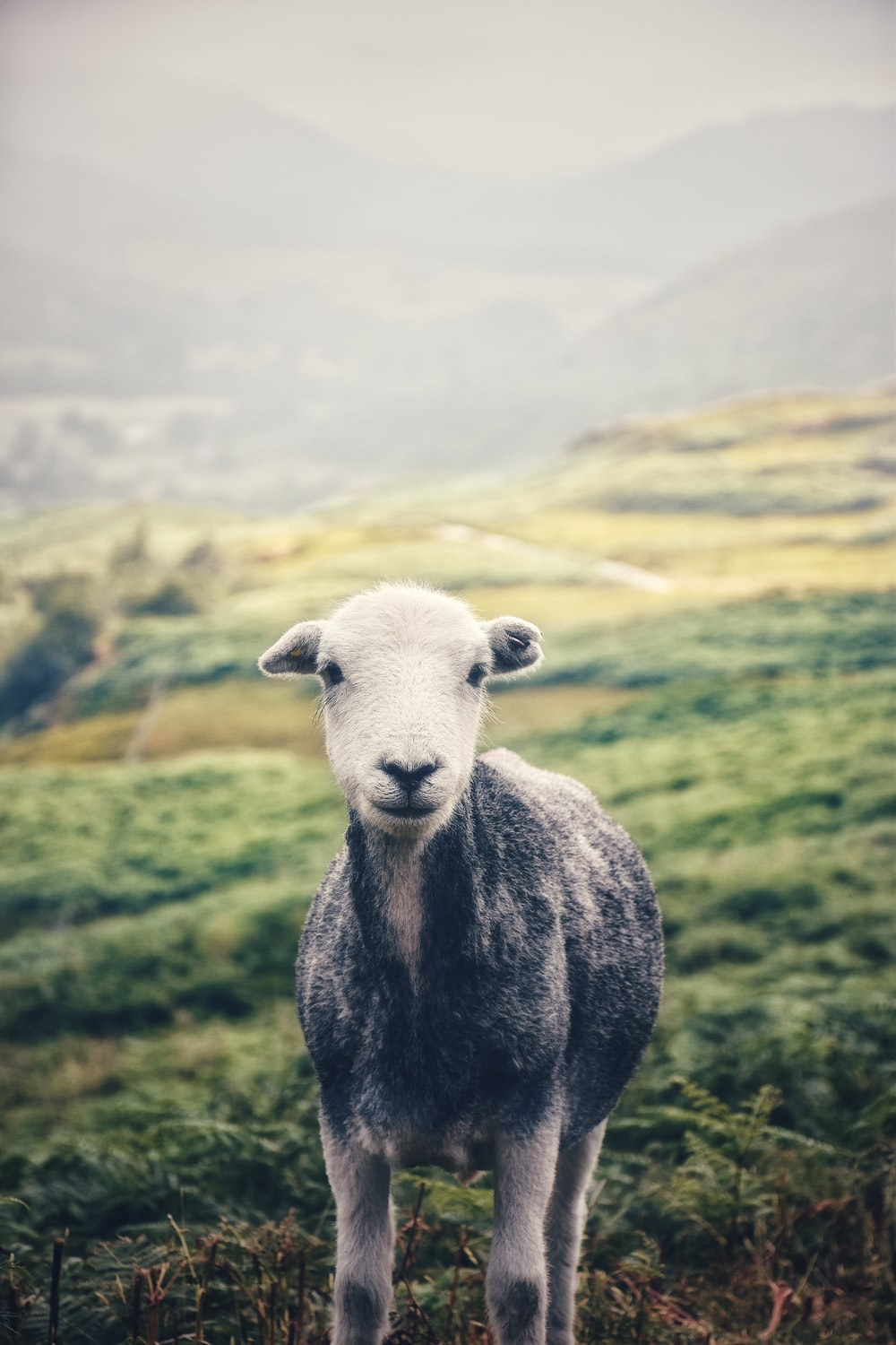 black and white sheep on green grass field