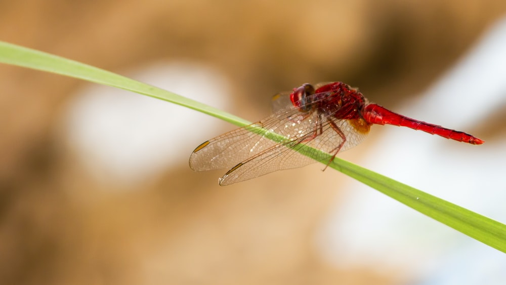 red dragonfly standing on green grass