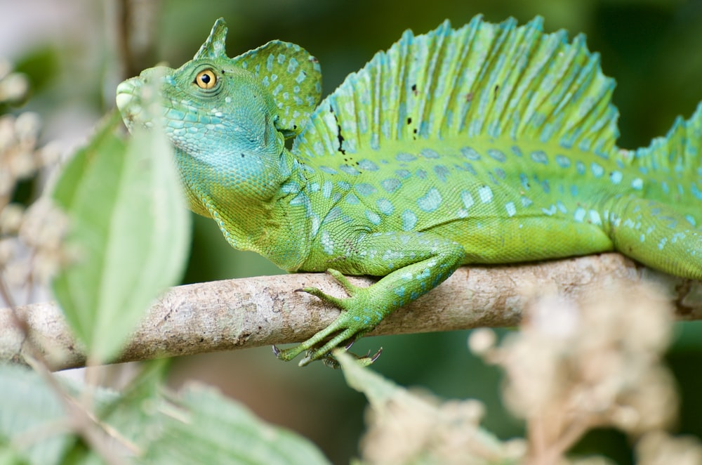 green iguana on brown tree branch