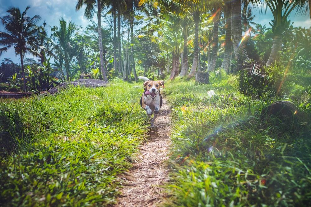 short-caated dog running