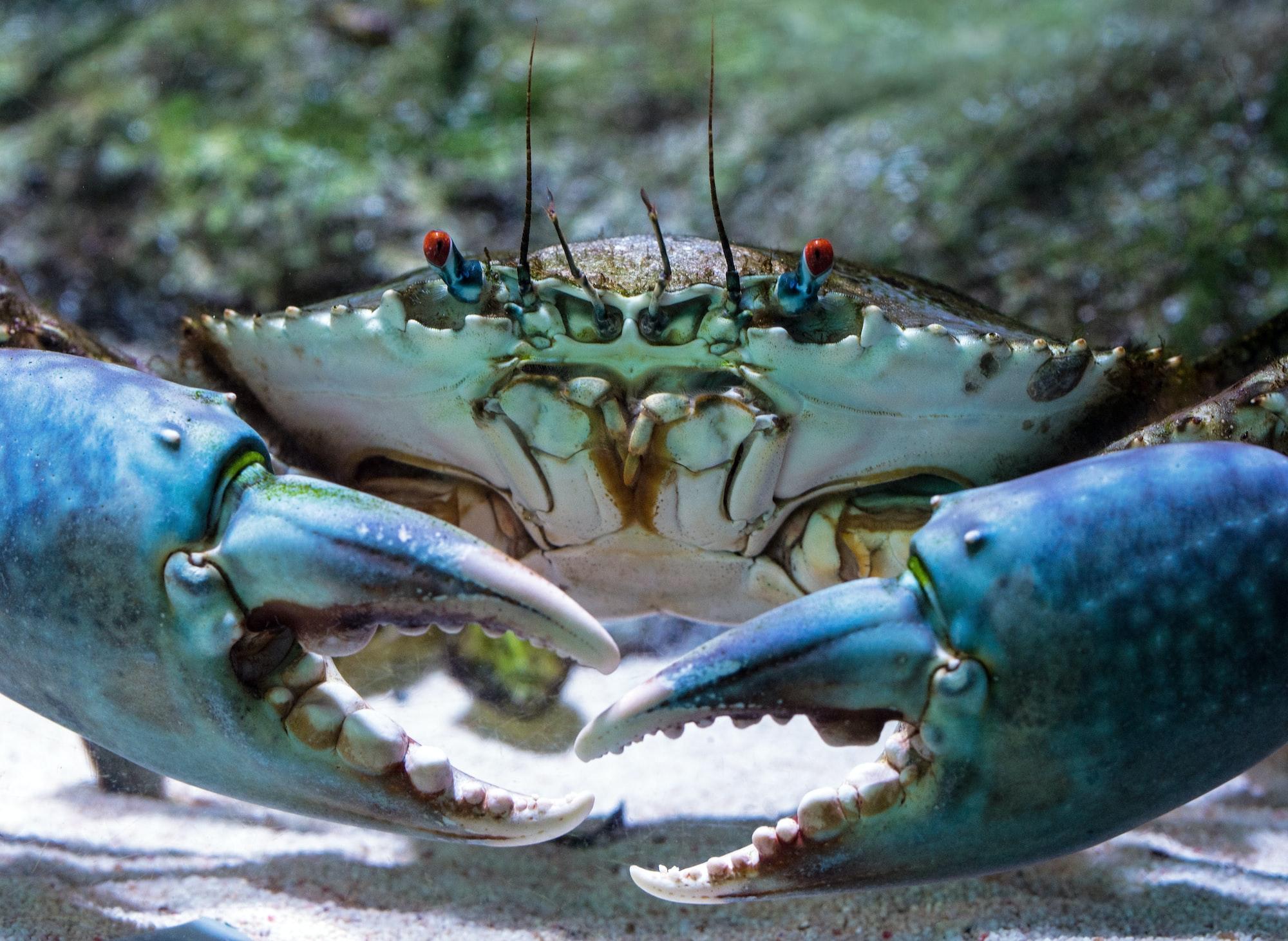 A Mud Crab shows off its impressive claws at the Cairns aquarium, Australia.