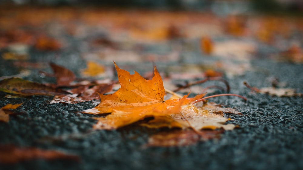 orange maple leaf in selective focus photography